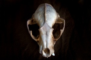 raccoon_skull